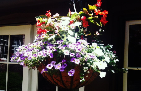 Mixed flower hanging basket in coconut fiber container--grown in one month