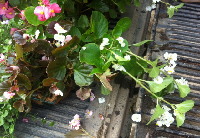stringy begonia needs pruning
