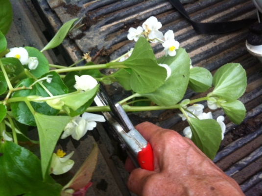 Pruning the begonia properly causes it to branch out and become stronger