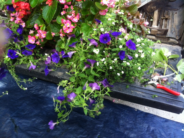 petunias need periodic  pruning throughout the growing season