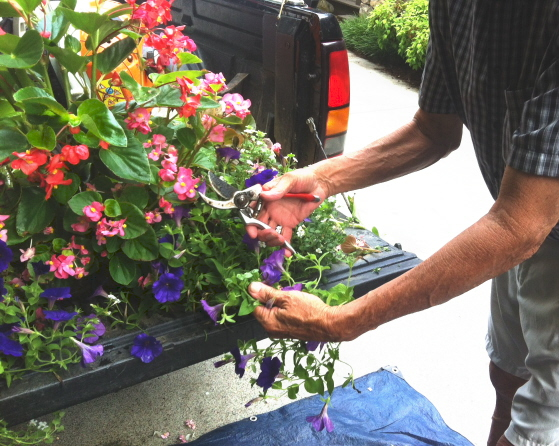 trimming petunias helps them to branch out and stay pretty