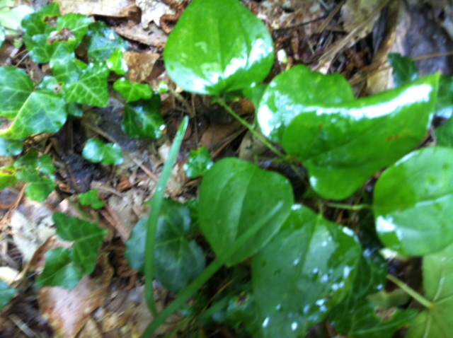 """This weed is appropriately named saw brier. More technically, """"Smilax"""""""