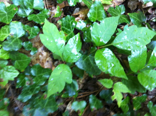 The dreaded poison ivy. Here is what it looks like
