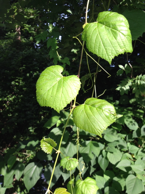 Muscadine--a wild grape vine that may become a difficult weed