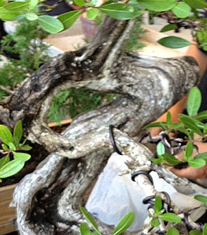 A carefully sculptured and nurtured bonsai tree trunk