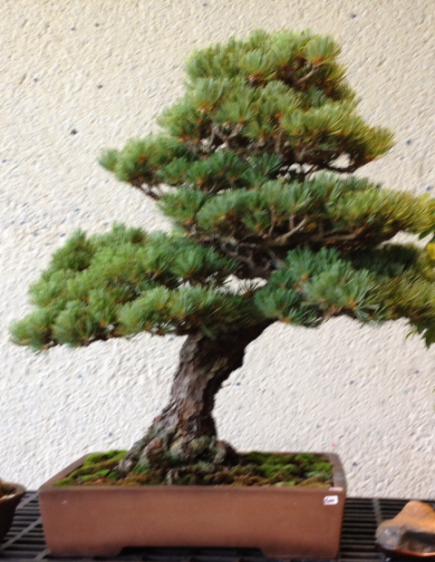 This is probably a Japanese Black Pine