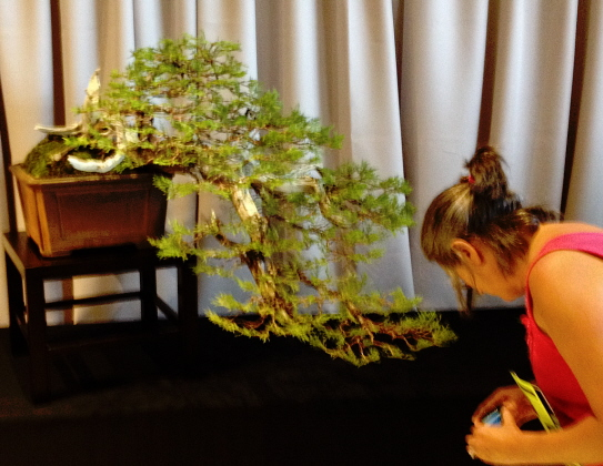 "A bonsai in the classic ""cascade"" shape"