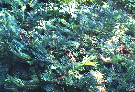 plum yew, (cephalotaxus) is a good choice for a garden where there is a deer population