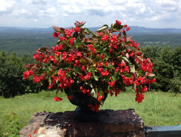 Dragon wing begonia with mountainous background