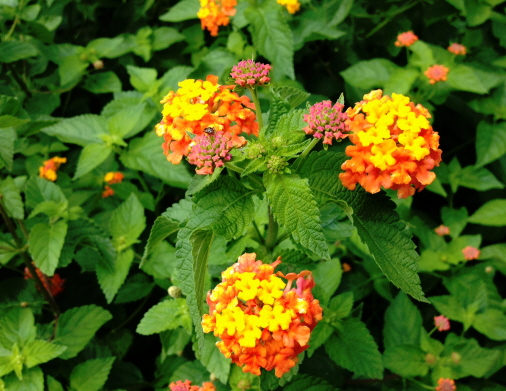 Flowers on Miss Huff lantana