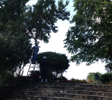 Carefully shaping trees and shrubs from a ladder.