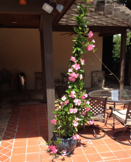 A flowering mandevilla grows rapidly up a chain