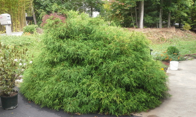 This gold mop cypress is a pretty plant but it is too close to the driveway and the walkway