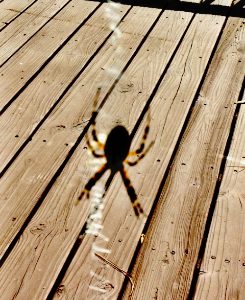 Writing spider weaving its web