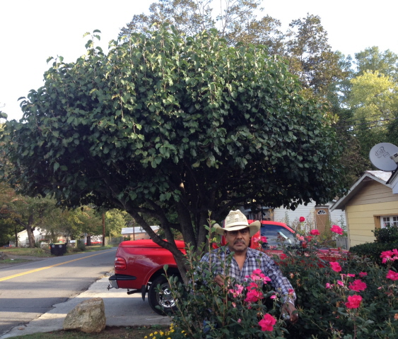 Shaping this Bradford pear has added strength and durability as well as beauty