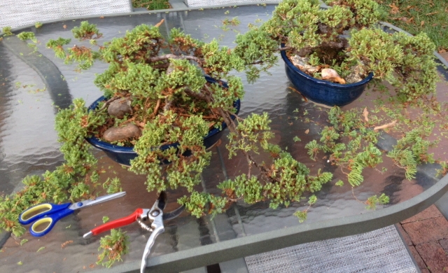 Pruning bonsai trees to maintain and enhance their shape