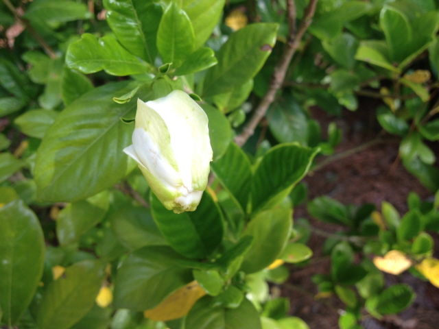 Gardenias are beautiful and fragrant but they do have some peculiarities.