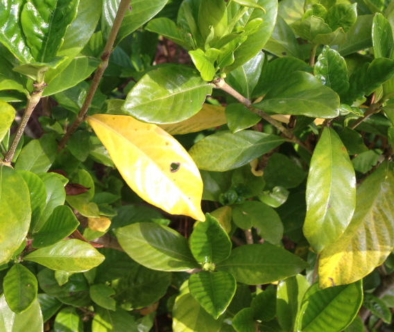 Whats wrong with my gardenias yellow leaves spots rust close up showing fungus on gardenia mightylinksfo