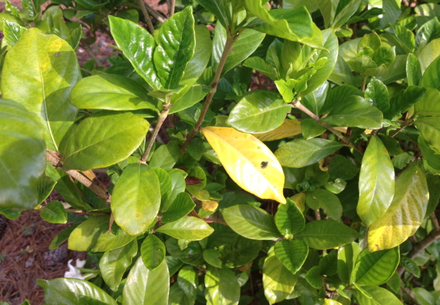 Whats Wrong With My Gardenias Yellow Leaves Spots Rust