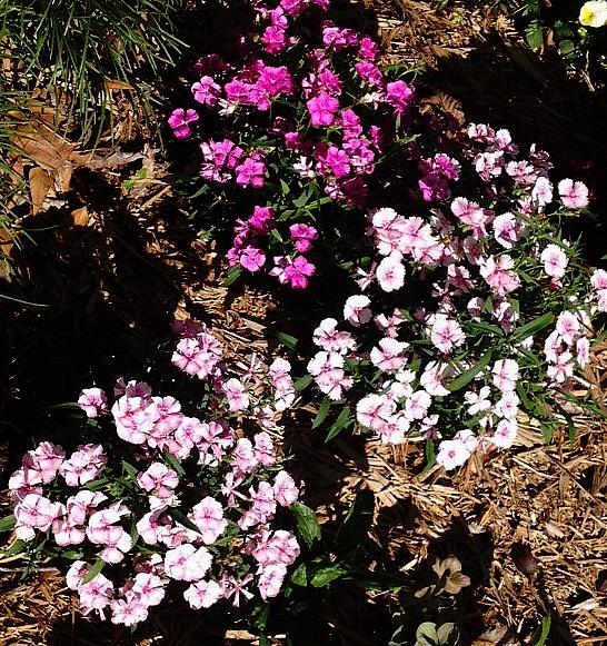 april dianthus