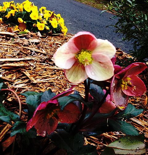 hybrid lenten rose