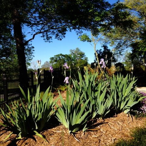 iris and sky