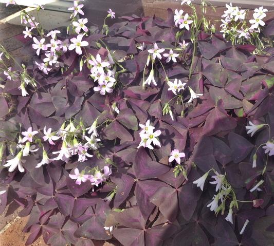 purple oxalis