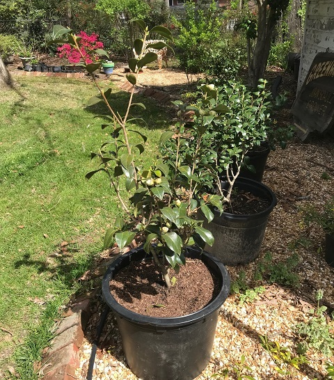 camellia planted with home made potting mix