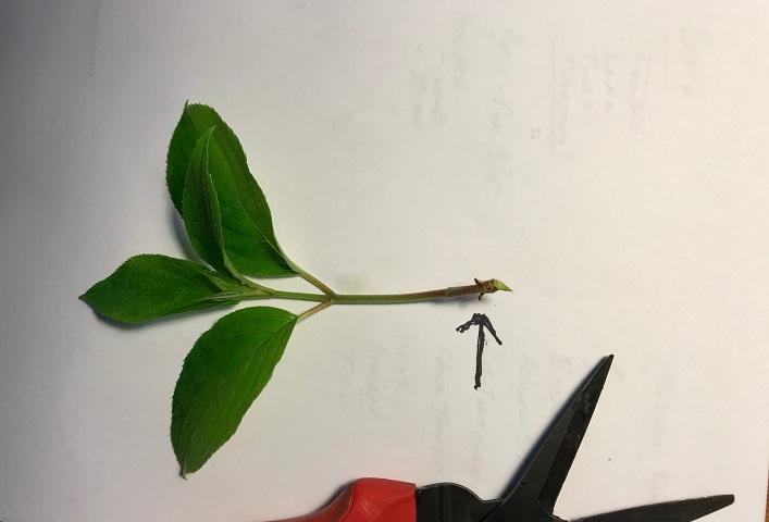 rooting hydrangea 4