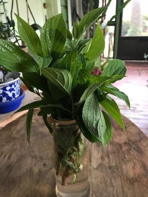 rooting hydrangea 5