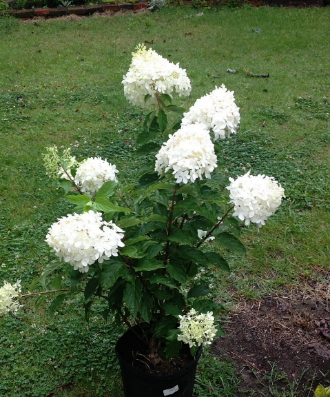 rooting hydrangea in April