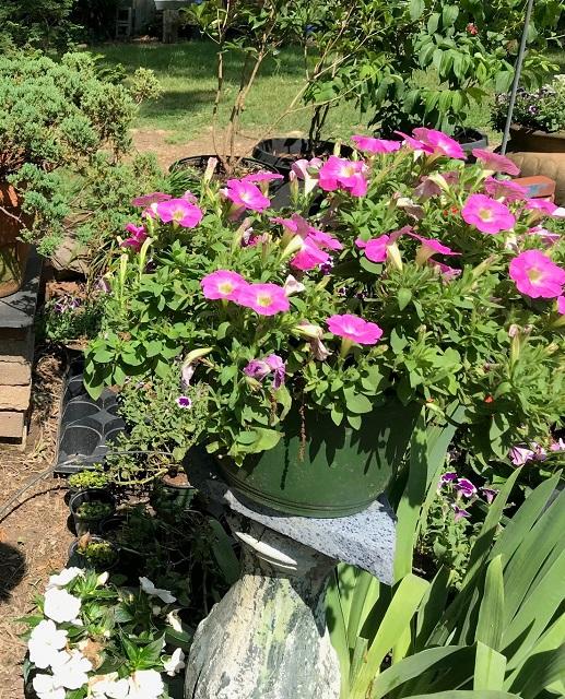 blog prune petunia 2