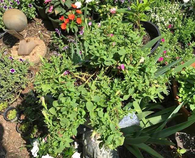 blog prune petunia 6