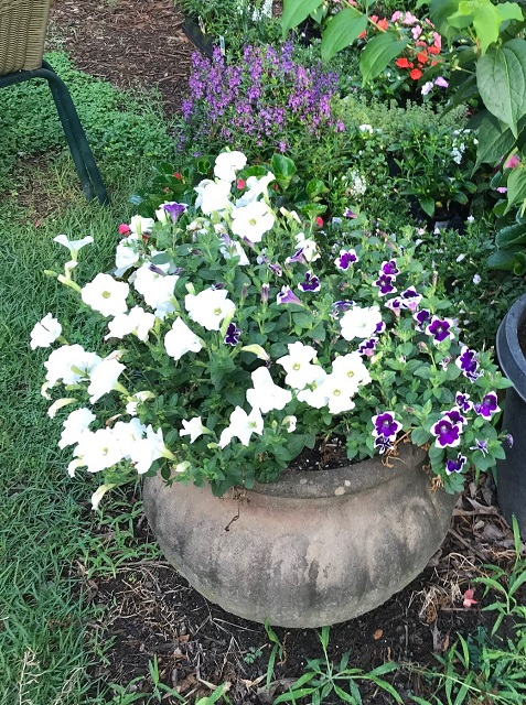 blog prune petunia 7