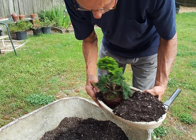 blog dwarf bonsai 1