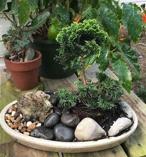 blog dwarf bonsai 10 chamaecyparis obtusa nana lutea