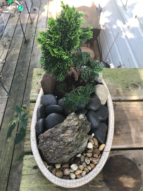 blog dwarf bonsai 11