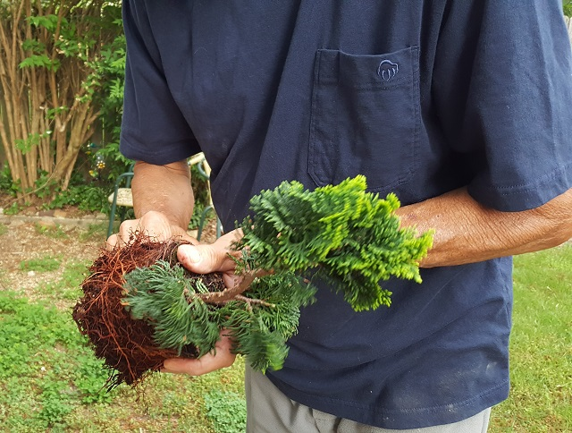 blog dwarf bonsai 3