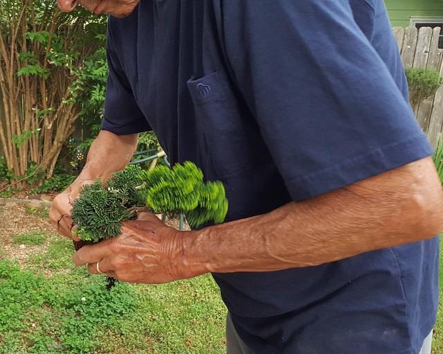 blog dwarf bonsai 4
