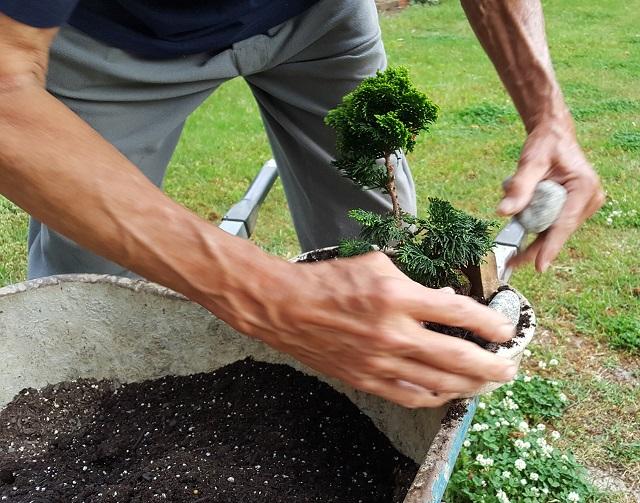 blog dwarf bonsai 5