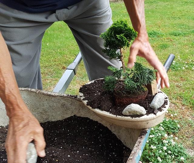 blog dwarf bonsai 6