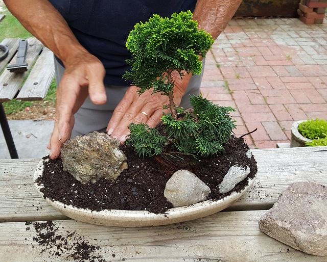 blog dwarf bonsai 7