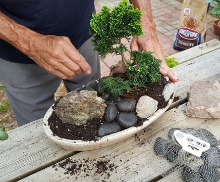 blog dwarf bonsai 8