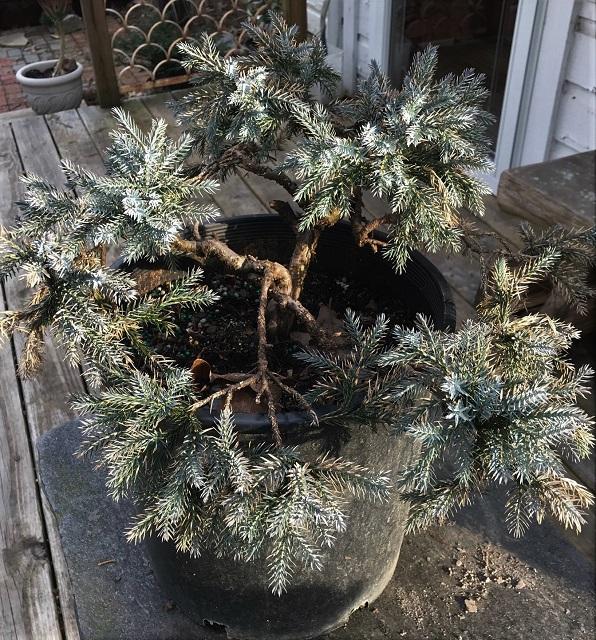 blog Saikei blue star cypress