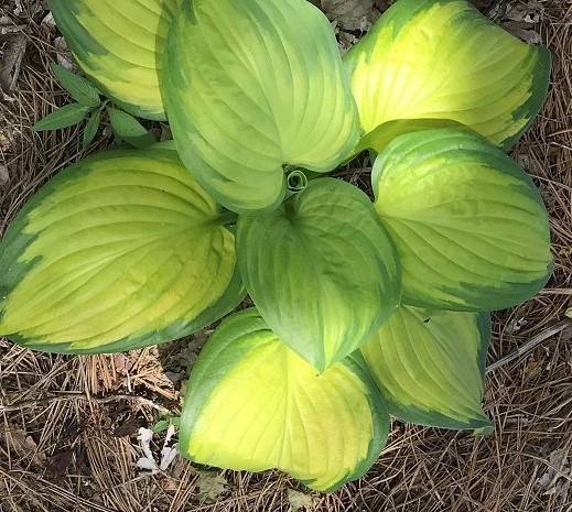ct 22 hosta stained glass