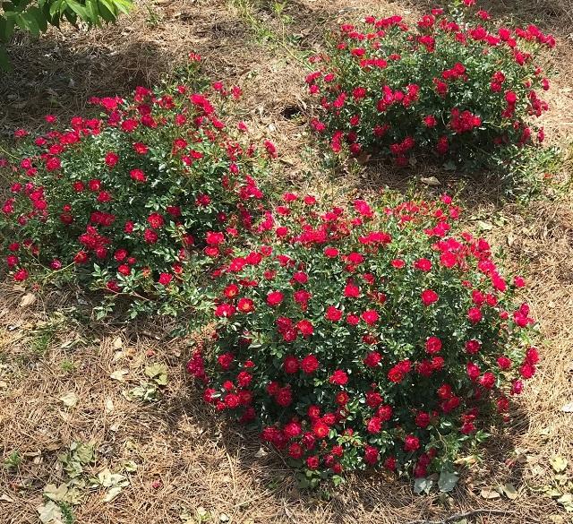 ct 3 red drift rose