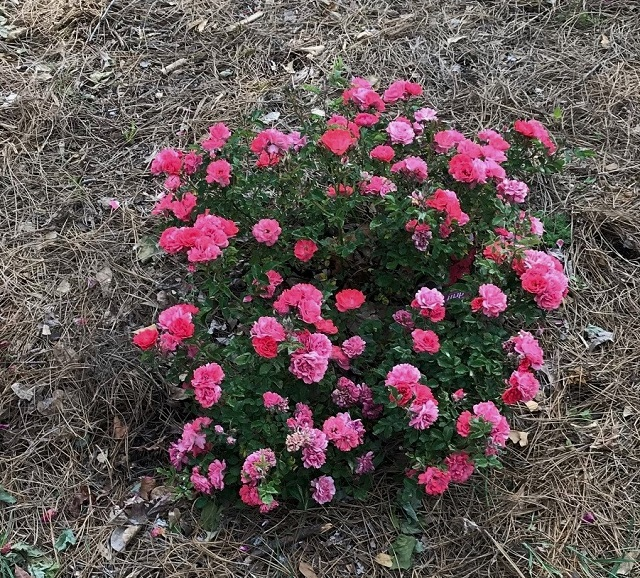 ct 5 coral drift rose