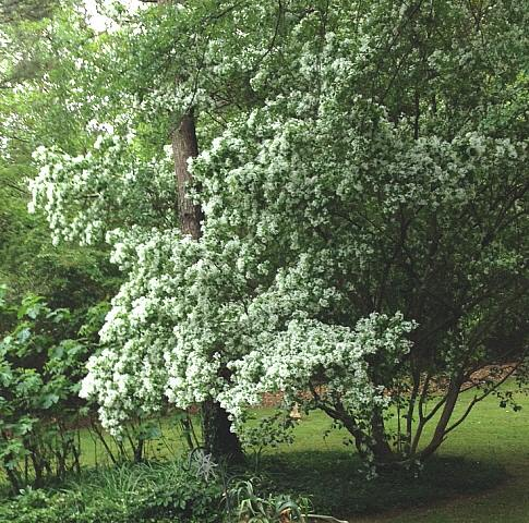 micky's fringe tree