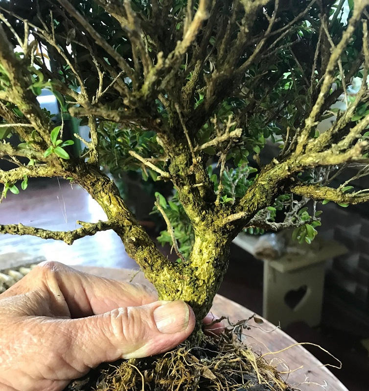 making a bonsai from a broken plant