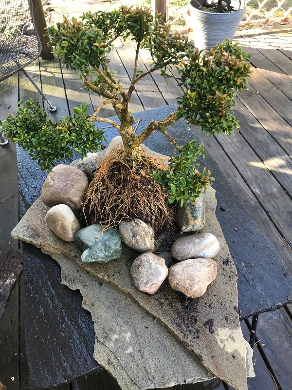 initial planting of a bonsai plant